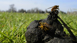 Male Yellow dung flies (Scathophaga stercoraria) coming and going from sheep dung, with one male guarding a female by riding on her back, Wiltshire, England, UK, March.  -  Nick Upton