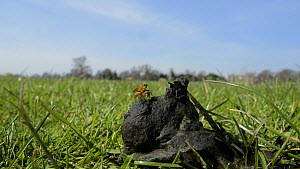 Wide angle view of a pair of Yellow dung flies (Scathophaga stercoraria) mating on some sheep dung, Wiltshire, England, UK, March.  -  Nick Upton