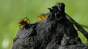 Male Yellow dung flies (Scathophaga stercoraria) climbing up to the top of some sheep dung and taking off, Wiltshire, England, UK, March. Slow motion.  -  Nick Upton