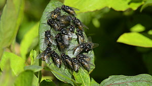 Wide anlge shot of male Face flies / Autumn house flies (Musca autumnalis) landing and jostling on honeysuckle leaves as they gather in a display lek, Wiltshire, England, UK, April.  -  Nick Upton