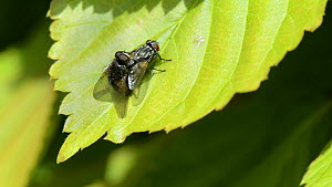 Pair of Face flies / Autumn house flies (Musca autumnalis) mating on a hedge leaf, Wiltshire, England, UK, April.  -  Nick Upton