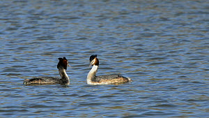 Great crested grebe pair (Podiceps cristatus) courting on the surface of a lake, calling quietly and head shaking in unison, Corsham Court, Wiltshire, England, UK, March.  -  Nick Upton