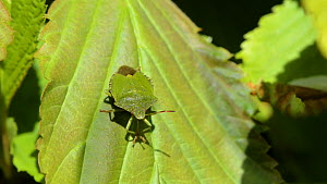 Green shield / stink bug (Palomena prasina) grooming its proboscis with its front feet, Wiltshire, England, UK, May. - Nick Upton
