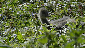 Greylag goose (Anser anser) chick sitting amongst some flowering Daisies (Bellis perennis) before standing and leaving the frame, Gloucestershire, England, UK, May. - Nick Upton