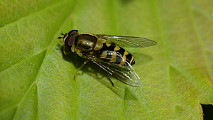 Hoverfly (Syrphus ribesii) grooming its head with its front feet, Wiltshire, England, UK, April. - Nick Upton