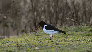 Oystercatcher (Haematopus ostralegus) pulling up an Earthworm (Lumbricus terrestris), Gloucestershire, England, UK, February.  -  Nick Upton