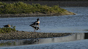 Pair of Oystercatchers (Haematopus ostralegus) mating on a small island, with a resting Shelduck (Tadorna tadorna) in the background, Gloucestershire, England, UK, March.  -  Nick Upton