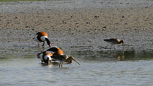 Three Shelduck (Tadorna tadorna) feeding on the margins of a lake, with three Black-tailed godwits (Limosa limosa) probing nearby, Gloucestershire, England, UK, May.  -  Nick Upton