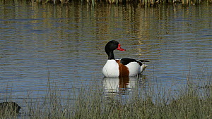 Shelduck drake (Tadorna tadorna) preening in a marshland pool, with a foraging Coot (Fulica atra) and a female Shelduck swimming past, Gloucestershire, England, UK, March.  -  Nick Upton
