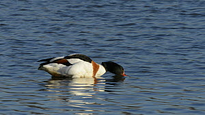 Female Shelduck (Tadorna tadorna) preening and drinking in a shallow lake, Gloucestershire, England, UK, March.  -  Nick Upton