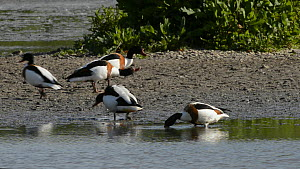 Pair of Shelduck (Tadorna tadorna) courting, with another pair dabbling nearby and another running past, Gloucestershire, England, UK, March.  -  Nick Upton