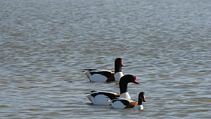 Pair of Shelduck (Tadorna tadorna) swimming on a shallow lake, watched and followed by two other drakes,  Gloucestershire, England, UK, March.  -  Nick Upton