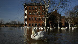 Mute swans (Cygnus olor) swimming near the flooded Old Cornmill in Worcester after the city centre was flooded by the River Severn bursting its banks, with one approaching, flapping its wings and pree... - Nick Upton
