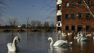 Panning shot of Mute swans (Cygnus olor) swimming and preening near the flooded Old Cornmill after the city centre was inundated by the River Severn bursting its banks, Worcester, Gloucestershire, Feb... - Nick Upton