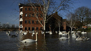 Panning shot of Mute swans (Cygnus olor) swimming near the flooded Old Cornmill after the city centre was inundated by the River Severn bursting its banks, Worcester, Gloucestershire, February 2014. - Nick Upton