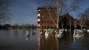 Wide angle view of Mute swans (Cygnus olor) swimming and preening near the flooded Old Cornmill after the city centre was inundated by the River Severn bursting its banks, Worcester, Gloucestershire,... - Nick Upton