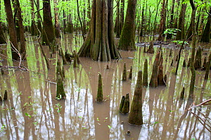 Flooded area with bald cypress trees (Taxodium distichum) and cypress knees growing out of the water along the Boardwalk Trail in Congaree National Park, South Carolina, USA.  -  Kirkendall-Spring