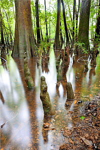 The edge of Weston Lake showing bald cypress (Taxodium distichum) trees and knees in Congaree National Park, South Carolina, USA.  -  Kirkendall-Spring
