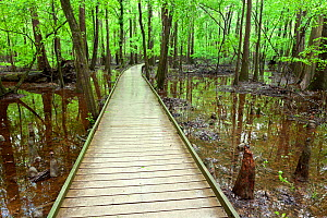 The Boardwalk Trail through swamp with bald cypress (Taxodium distichum) knees in Congaree National Park South Carolina, USA. - Kirkendall-Spring
