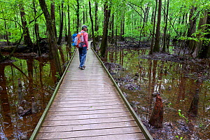 Hiker on the Boardwalk Trail in Congaree National Park, South Carolina, USA. Model Released. - Kirkendall-Spring