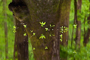 Plants growing out of a small creek along the River Trail in Congaree National Park, South Carolina, USA.  -  Kirkendall-Spring