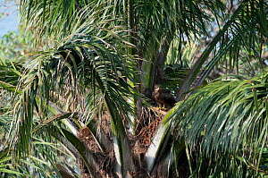 Lesser Spotted Eagle (Clanga pomarina) in palm tree, Democratic Republic of the Congo. - Steve O. Taylor (GHF)