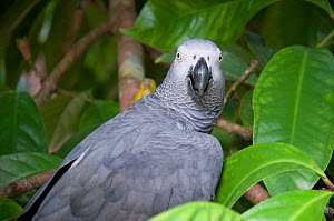 Wild African grey parrot (Psittacus erithacus) caught by local Bantu people, Democratic Republic of the Congo. - Steve O. Taylor (GHF)