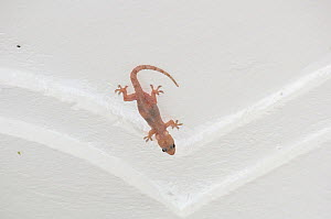 Tropical house gecko (Hemidactylus mabouia) with cysts of stored calcium in guest house, Ituri Rainforest, Democratic Republic of Africa. - Steve O. Taylor (GHF)