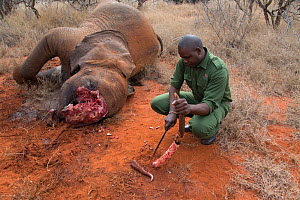 KWS (Kenya Wildlife Service) park rangers with removed tusks from dead young female African elephant (Loxodonta africana) caught in snare, Rukinga Ranch, Kenya, November 2012.  -  Steve O. Taylor (GHF)
