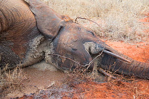 Dead young female African Elephant (Loxodonta cyclotis) caught in snare, Rukinga Ranch, Kenya, November 2012.  -  Steve O. Taylor (GHF)