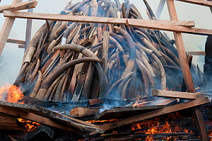 Government ivory burn with 6 tonnes  (worth 6 million dollars)  of African elephant (Loxodonta africana) tusks, Libreville, Gabon, June 6th 2012. - Steve O. Taylor (GHF)