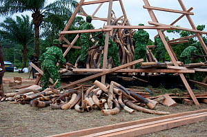 Park rangers piling up African forest elephant (Loxodonta cyclotis) tusk before government ivory burn with 6 tonnes (worth 6 million dollars) of ivory, Libreville, Gabon, June 6th 2012.  -  Steve O. Taylor (GHF)