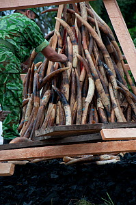 Park rangers piling up African forest elephant (Loxodonta cyclotis) tusk before government ivory burn with 6 tonnes (worth 6 million dollars) of African elephant (Loxodonta africana) tusks, Libreville...  -  Steve O. Taylor (GHF)