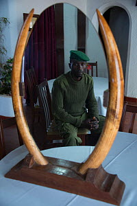Park ranger with confiscated ivory from African forest elephant (Loxodonta cyclotis) Virunga National Park,  Democratic Republic of the Congo  -  Steve O. Taylor (GHF)