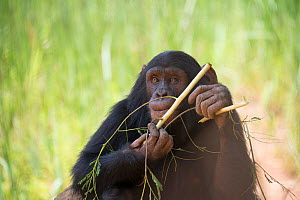 Chimpanzee (Pan troglodytes) stripping stick to use to get honey in enrichment activity, J.A.C.K. Sanctuary (Jeunes Animaux Confisqu�s au Katanga / Young animals confiscated in Katanga), Lubumbashi, K... - Steve O. Taylor (GHF)