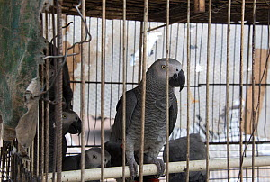 African grey parrots (Psittacus erithacus) in cage, Matche de la Volier (Market of the Thieves), Kinshasa, Democratic Republic of the Congo. May 2012. - Steve O. Taylor (GHF)