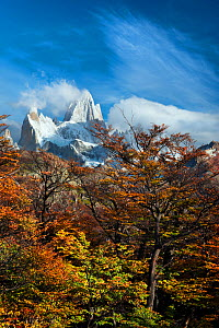 Autumn trees with Mount Fitz Roy beyond. El Chalten, Patagonia, Argentina. April 2013. - Hougaard Malan