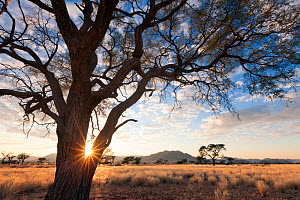 Sunrise through the branches of a camelthorn tree. Namib Rand, Namibia. May 2010.  -  Hougaard Malan