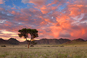 Camelthorn tree in mountain valley at sunset. Namib Naukluft National Park, Namibia. February 2011.  -  Hougaard Malan