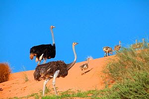 Ostrich (Struthio camelus) pair and chicks on dune in the Kalahari. Kgalagadi Transfrontier Park, Southern Africa, February. - Hougaard Malan
