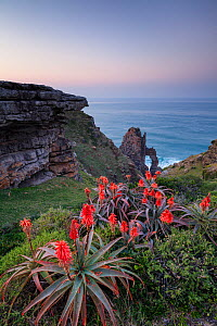Flowering aloes with cathedral rock beyond. Pondoland, Eastern Cape, South Africa. June 2012.  -  Hougaard Malan