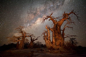 Baobab trees under starry night sky. Kubu Island, Makgadikgadi pans, Botswana. May 2012. - Hougaard Malan