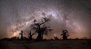 Panoramic view of the Milky Way over baobab trees. Kubu Island, Makgadikgadi pans, Botswana. May 2012.  -  Hougaard Malan