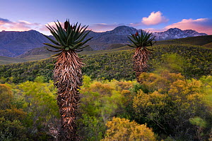 Aloes below the snow-capped peaks of the Swartberg. Near Calitzdorp, Western Cape, South Africa. June 2009.  -  Hougaard Malan
