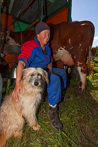 Farmer sitting with dog, milking Abondance cows. The milk is used in the production of Beaufort cheese. Beaufort district, near Bourg-Saint-Maurice, Rhone-Alpes, France, May 2014. - Pascal  Tordeux
