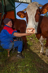 Farmer milking Abondance cows, the milk is used in the production of Beaufort cheese. Beaufort district, near Bourg-Saint-Maurice, Rhone-Alpes, France, May 2014. - Pascal  Tordeux