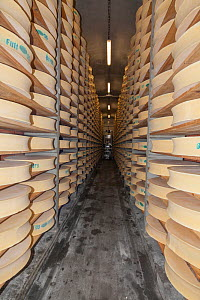 Beaufort cheeses in cellar. 20,000 cheeses are kept in 26 cellars here, and the aging process takes 5 months. Bourg-Saint-Maurice, Savoie, Rhone-Alpes, France, May 2014. - Pascal  Tordeux