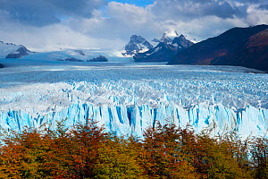 Perito Moreno glacier viewed over bright autumn foliage, Patagonia, Argentina. April 2013. Non-ex.  -  Hougaard Malan