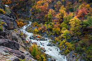 River gorge surrounded by bright autumn foliage. El Chalten, Patagonia, Argentina. April 2013. Non-ex.  -  Hougaard Malan