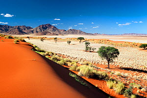 Dune valley dotted with camelthorn trees under a clear blue sky. Namib Rand, Namibia. May 2010.  Non-ex.  -  Hougaard Malan